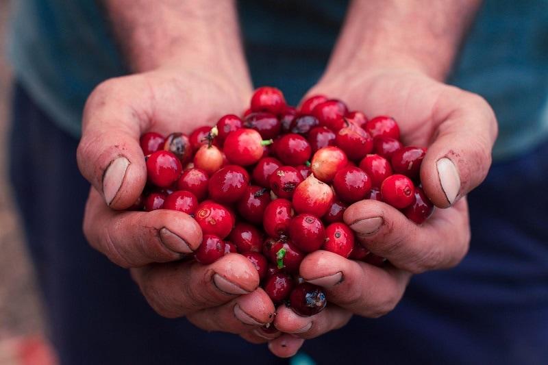 hands holding ripe coffee cherries